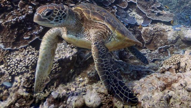 Tartaruga marina sulla barriera corallina australiana